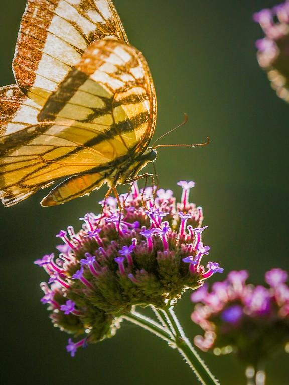 彩蝶,鲜花伴侣_图1-14