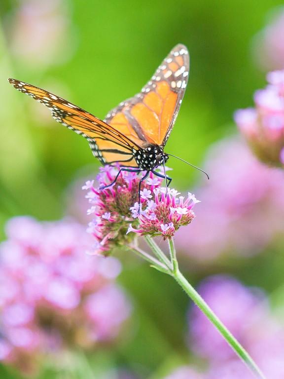 彩蝶,鲜花伴侣_图1-11