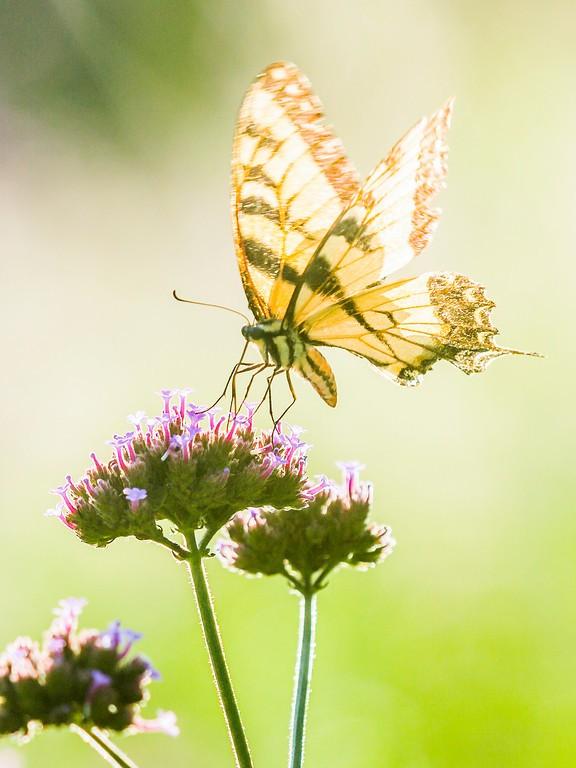 彩蝶,鲜花伴侣_图1-9
