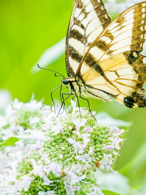 彩蝶,鲜花伴侣_图1-16