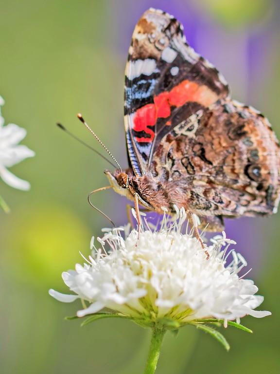 彩蝶,鲜花伴侣_图1-12