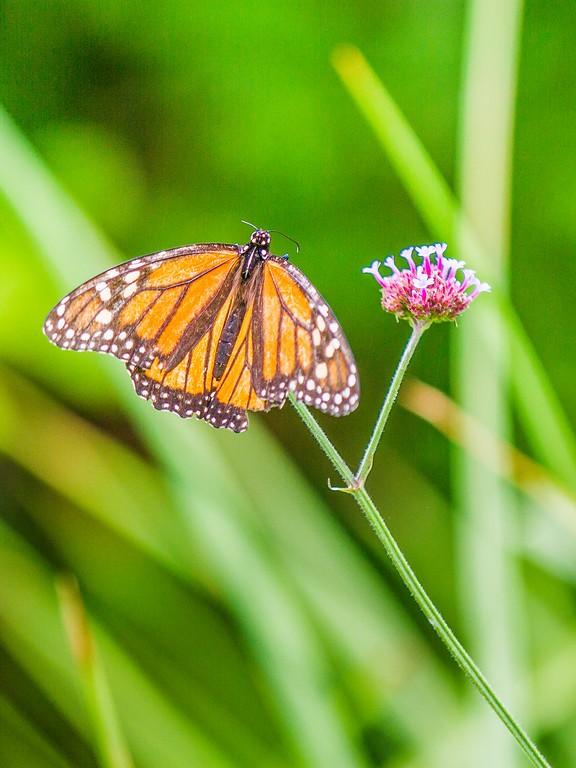 彩蝶,鲜花伴侣_图1-5