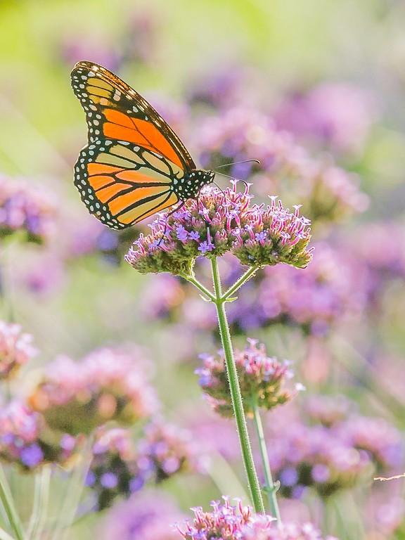 彩蝶,鲜花伴侣_图1-7