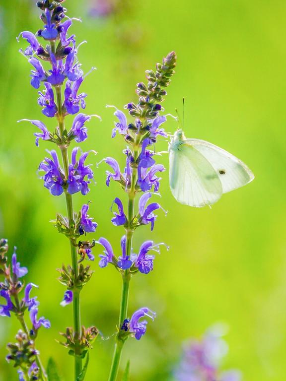 彩蝶,鲜花伴侣_图1-6