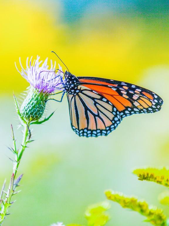 彩蝶,鲜花伴侣_图1-1