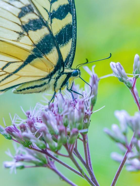 彩蝶,鲜花伴侣_图1-2