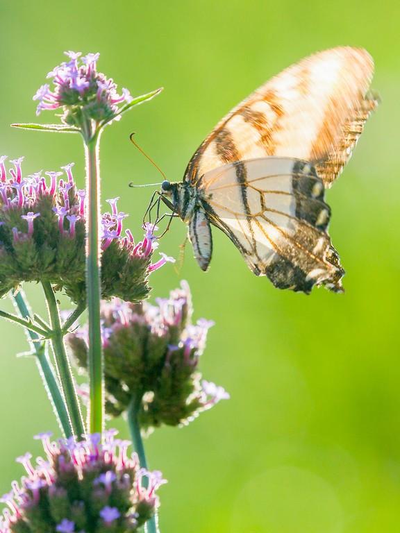 彩蝶,鲜花伴侣_图1-3