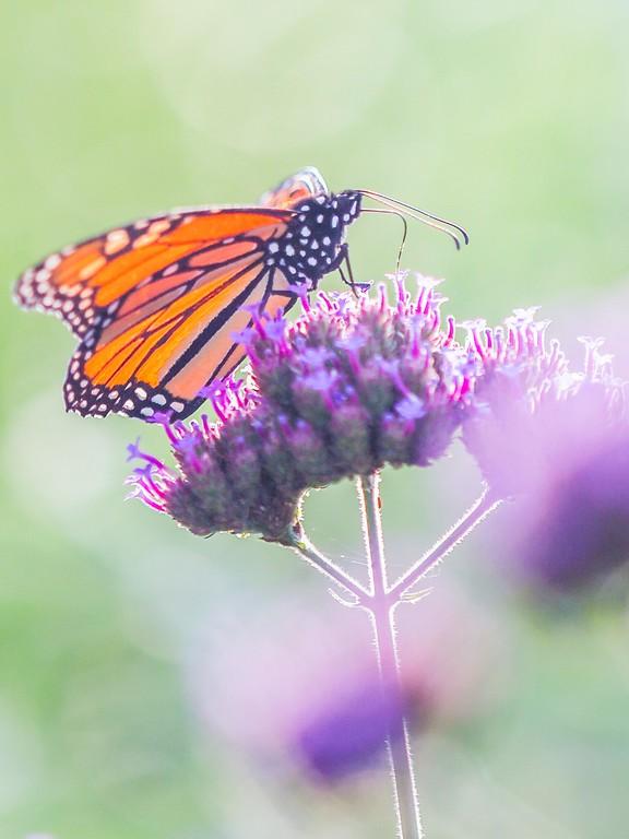 彩蝶,鲜花伴侣_图1-4