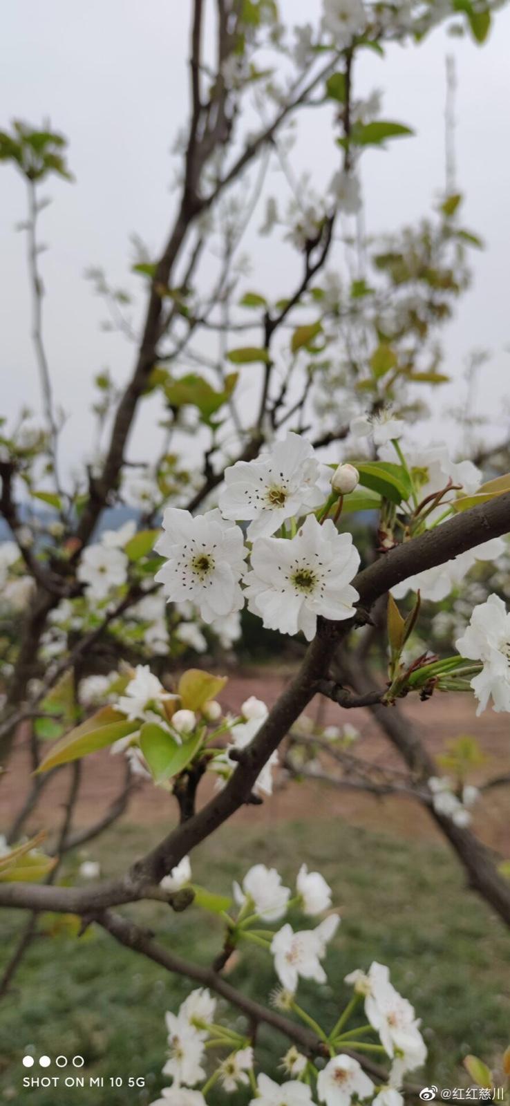 新津看梨花_图1-3