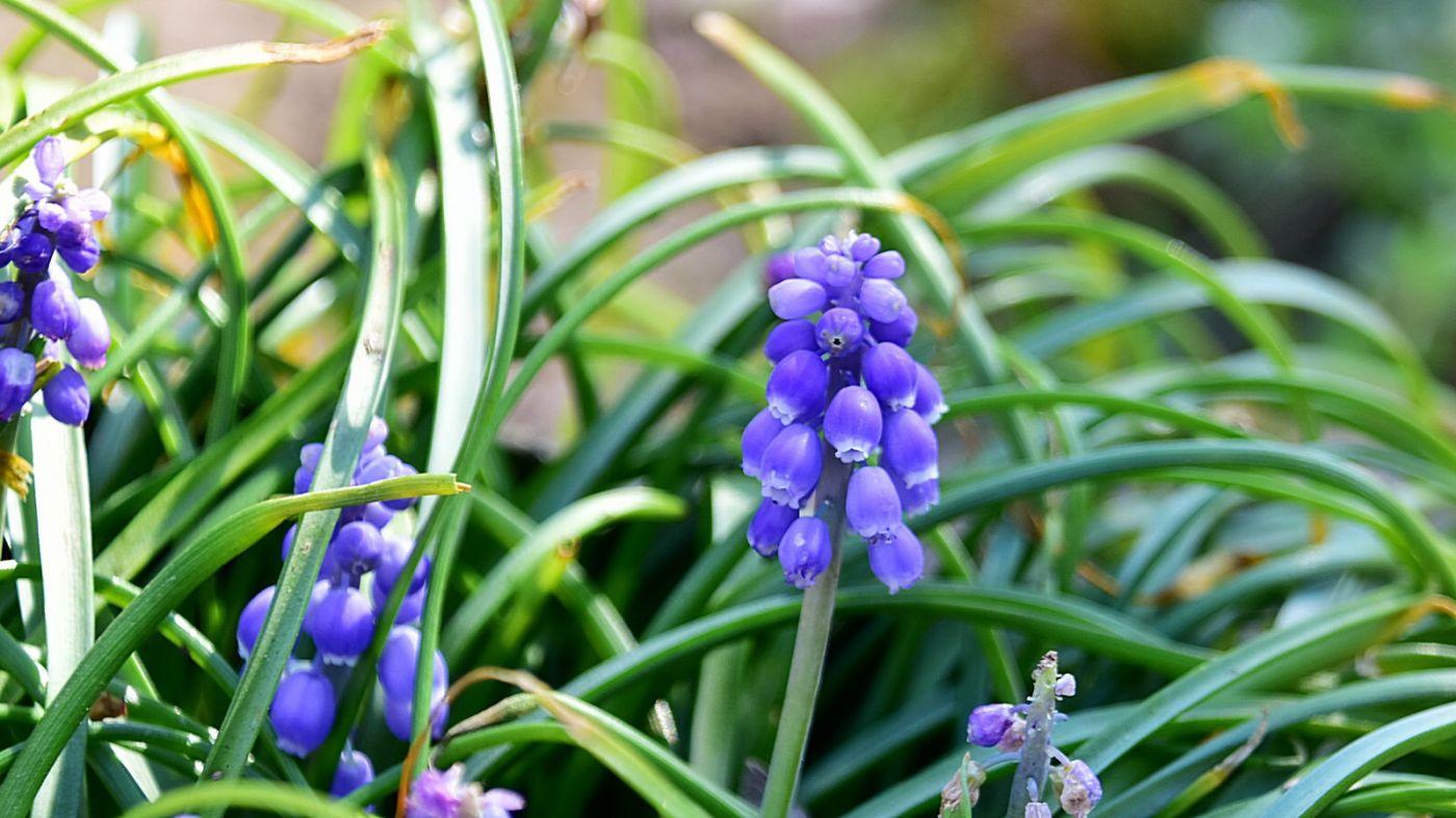 初春的紫葡风信子_图1-1