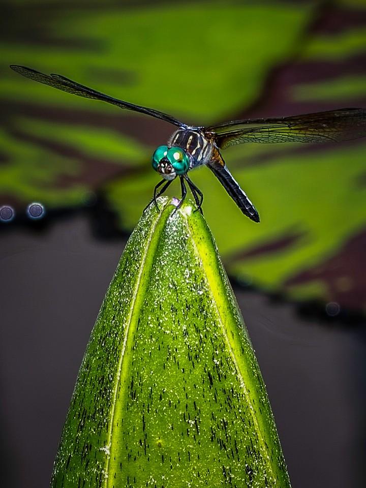 小蜻蜓,矫健身姿_图1-6