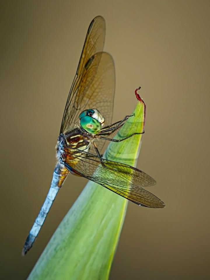 小蜻蜓,矫健身姿_图1-5