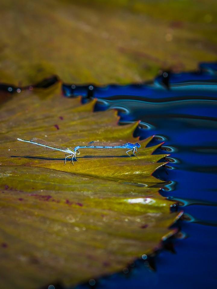 小蜻蜓,矫健身姿_图1-7