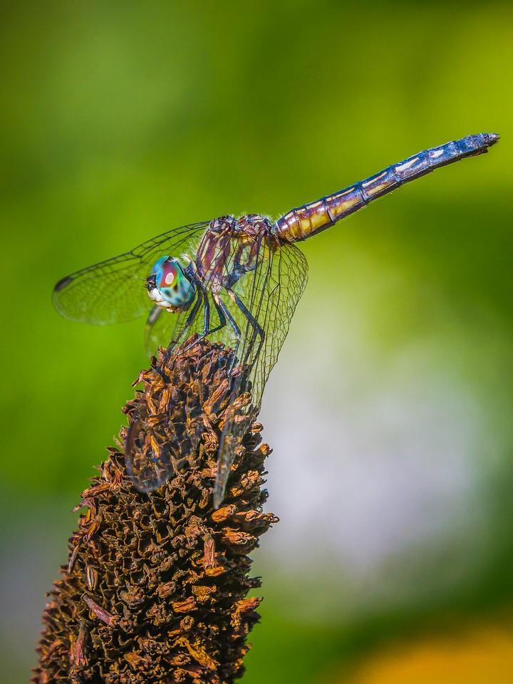 小蜻蜓,矫健身姿_图1-10