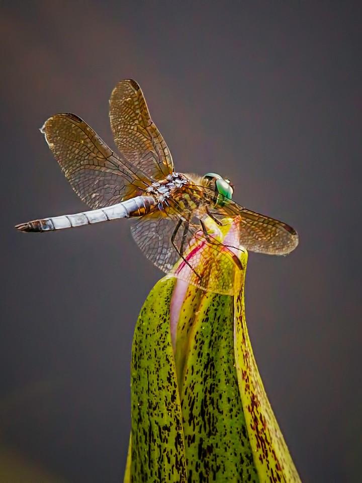 小蜻蜓,矫健身姿_图1-3