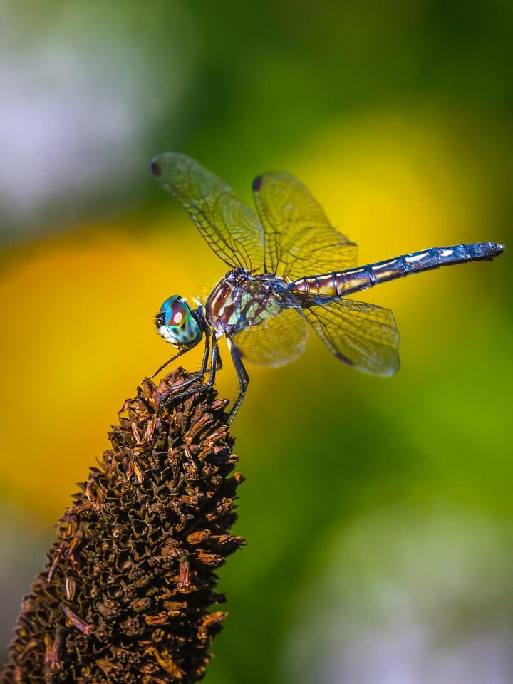 小蜻蜓,矫健身姿_图1-1