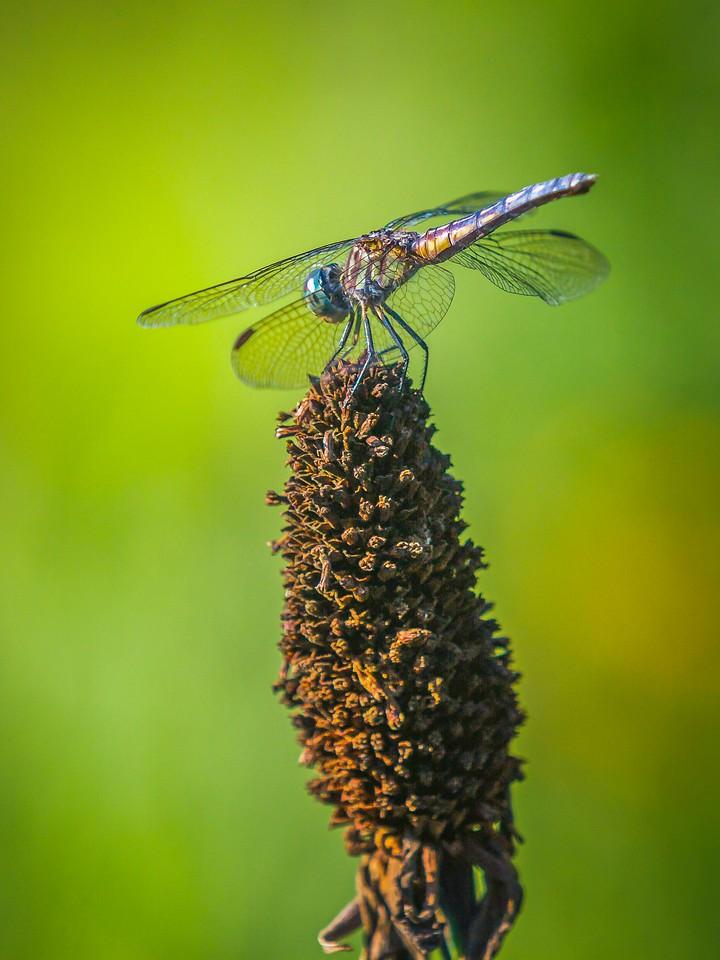 小蜻蜓,矫健身姿_图1-4