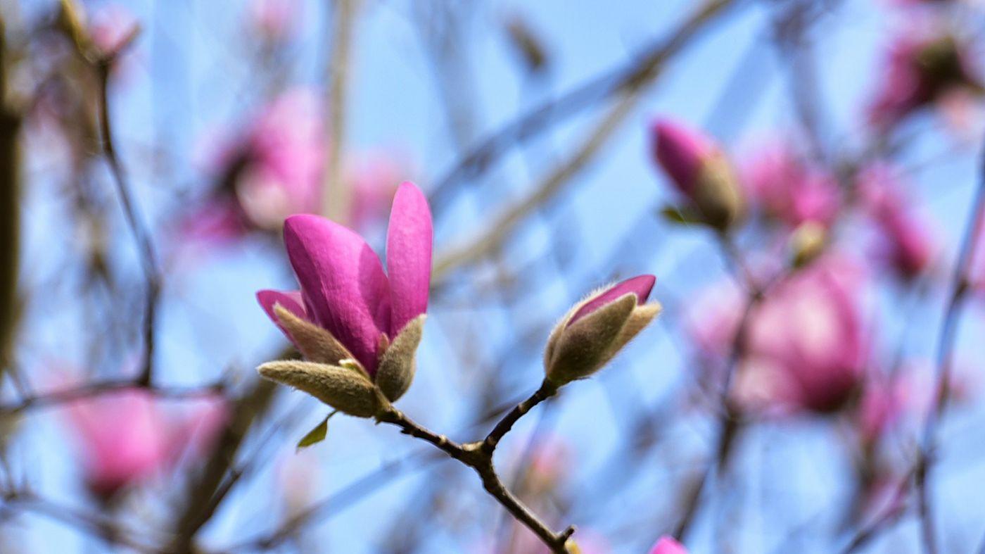 初春的日本玉兰和梨花_图1-1