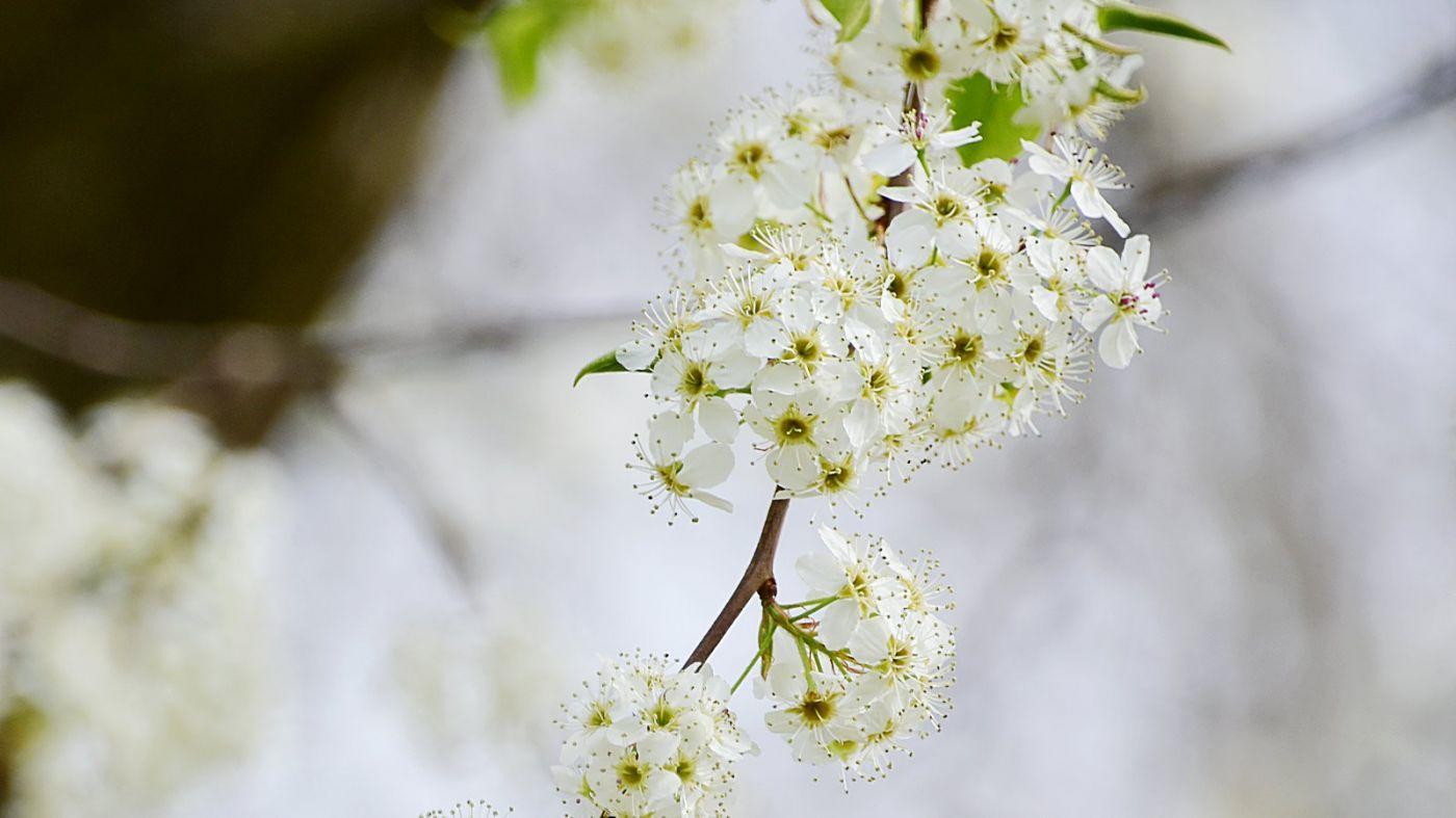 初春的日本玉兰和梨花_图1-4