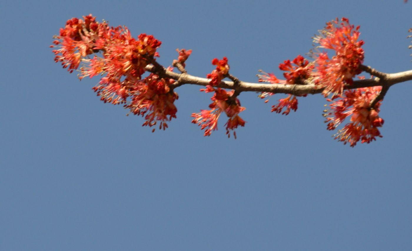 美国红枫开花_图1-3