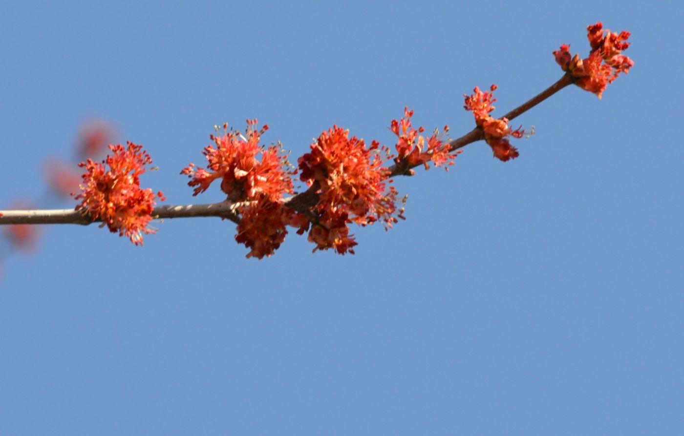 美国红枫开花_图1-8
