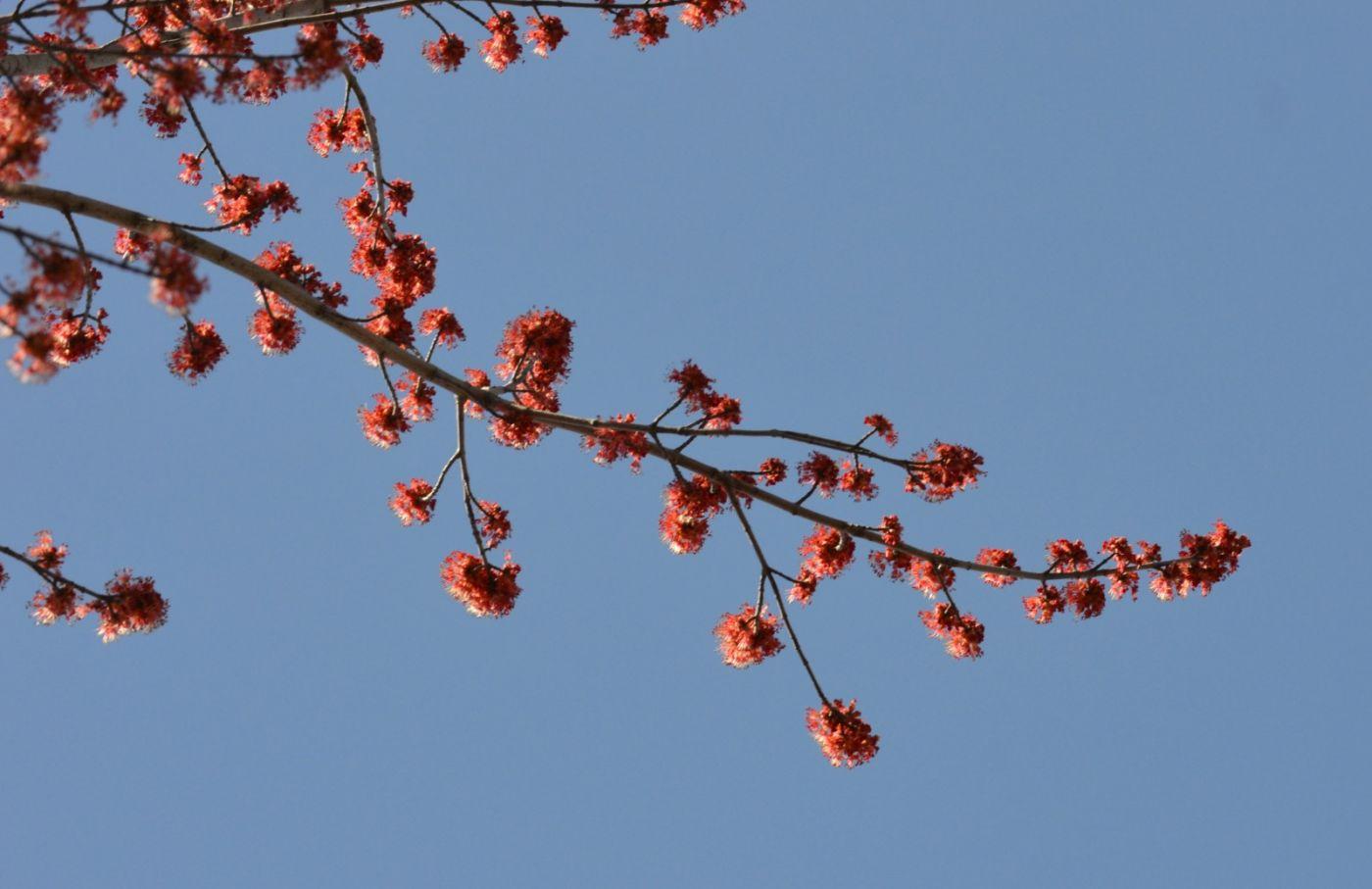 美国红枫开花_图1-23