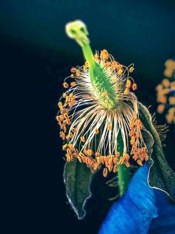 罂粟花,光彩迷人_图1-2