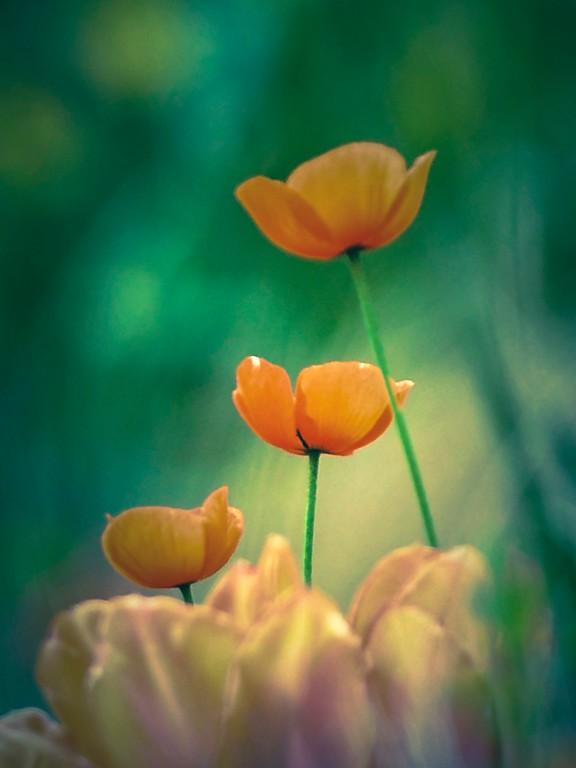 罂粟花,光彩迷人_图1-8