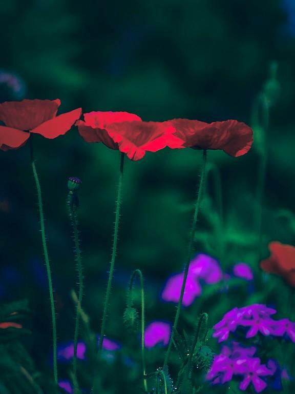 罂粟花,光彩迷人_图1-9
