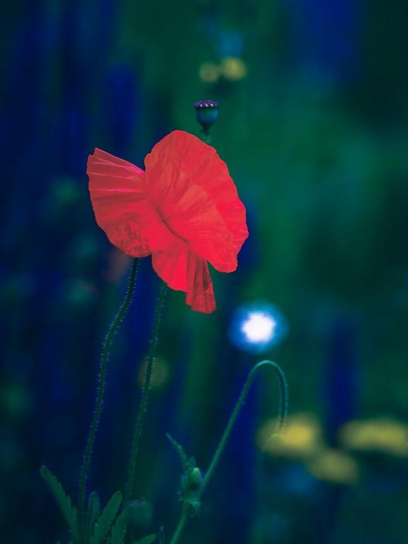 罂粟花,光彩迷人_图1-11