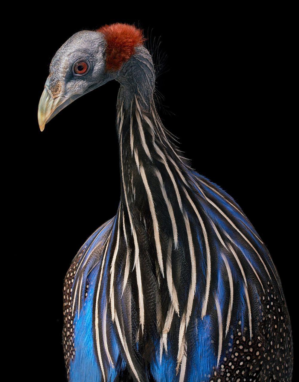 蒂姆.弗拉奇对鸟类的大胆精妙拍摄_图1-3
