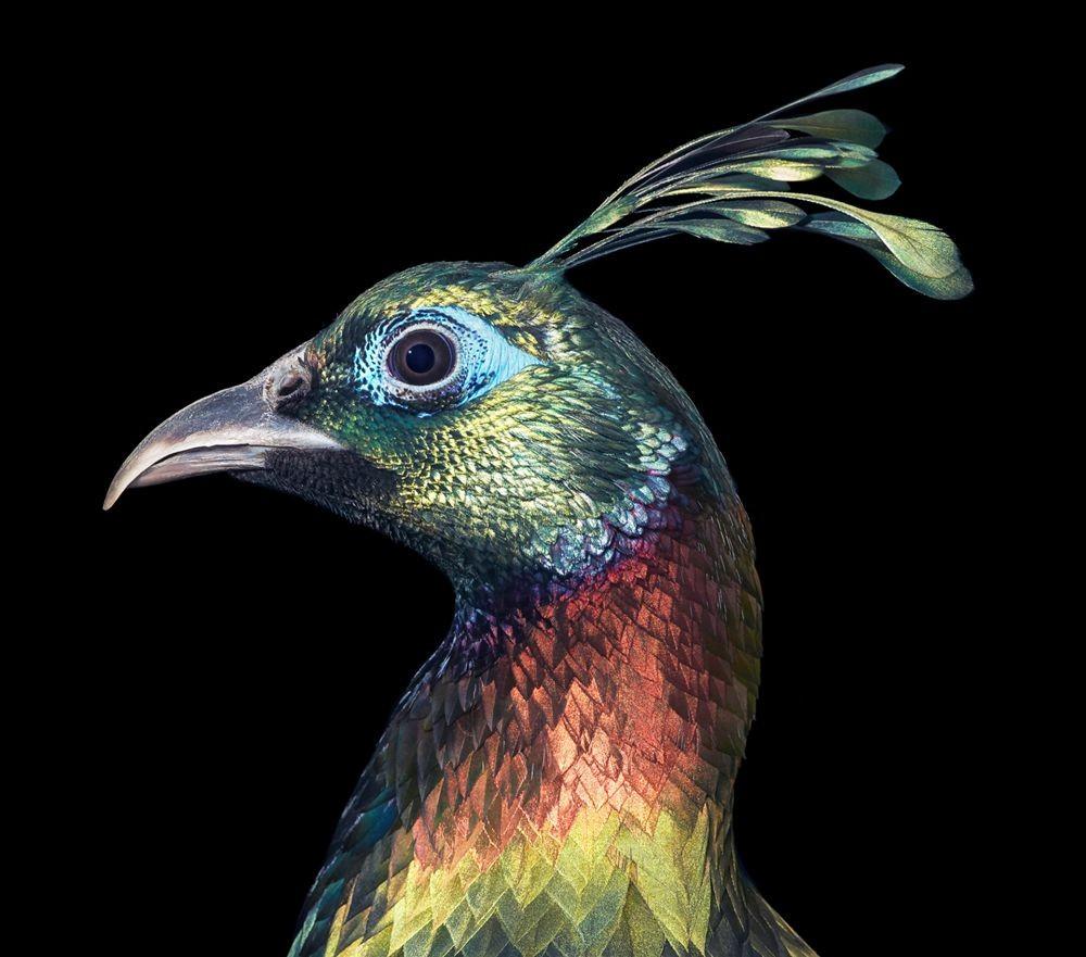 蒂姆.弗拉奇对鸟类的大胆精妙拍摄_图1-9