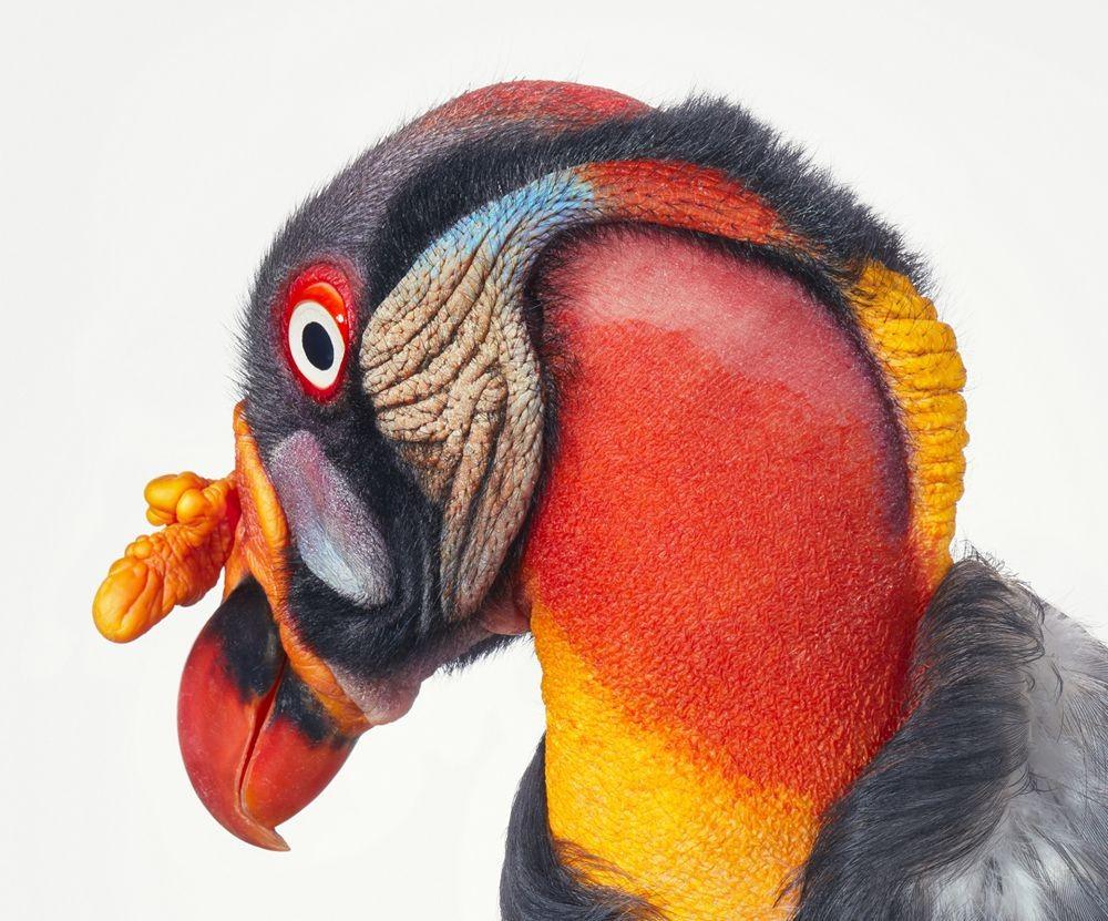 蒂姆.弗拉奇对鸟类的大胆精妙拍摄_图1-13
