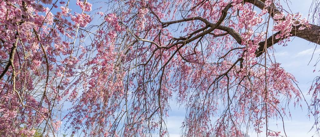 樱花,盛开的季节_图1-3