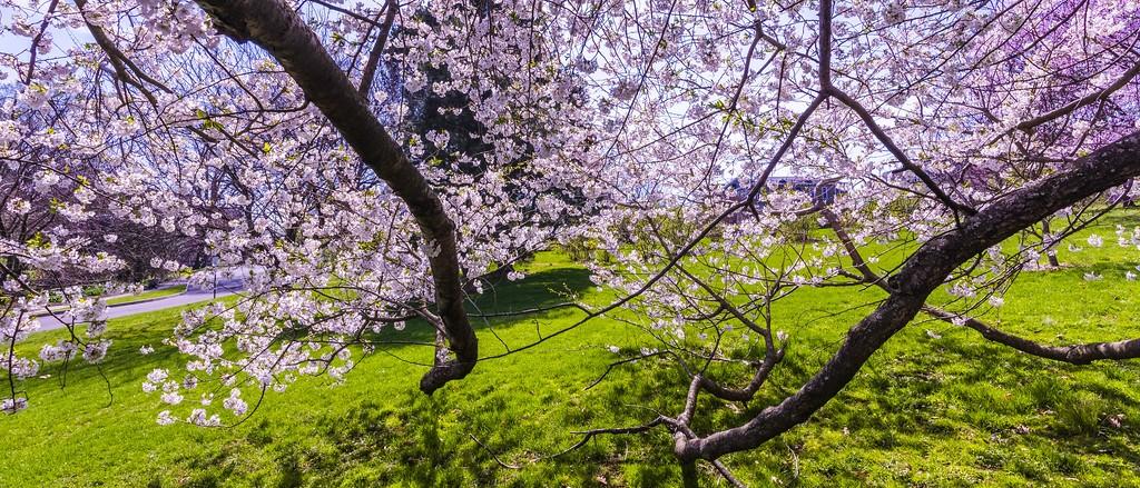 樱花,盛开的季节_图1-2