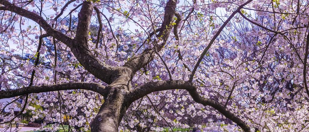 樱花,盛开的季节_图1-4