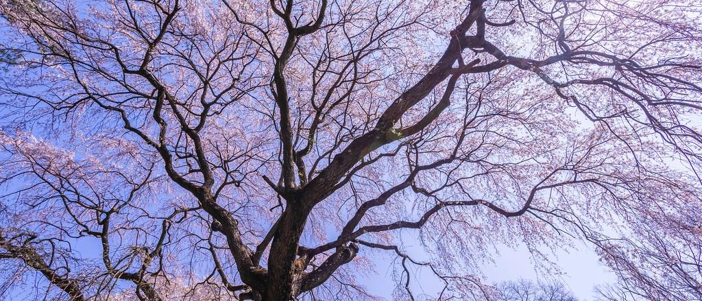 樱花,盛开的季节_图1-7