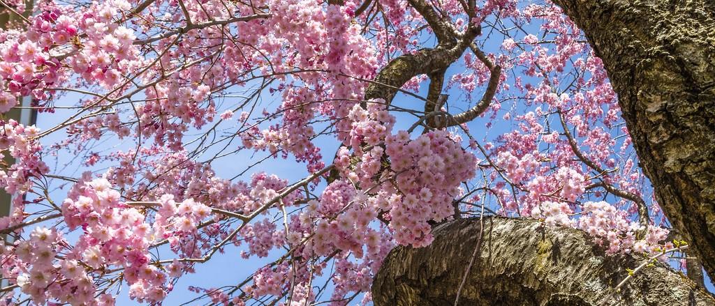 樱花,盛开的季节_图1-8