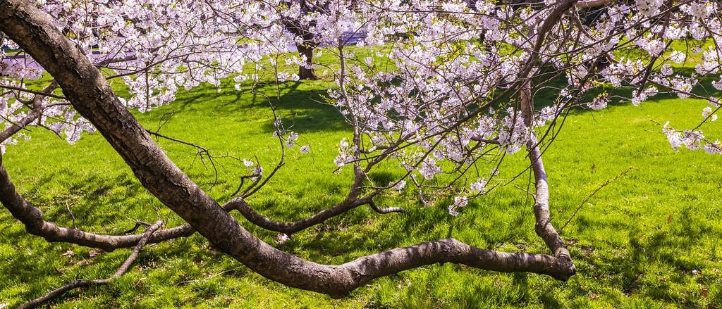 樱花,盛开的季节_图1-10