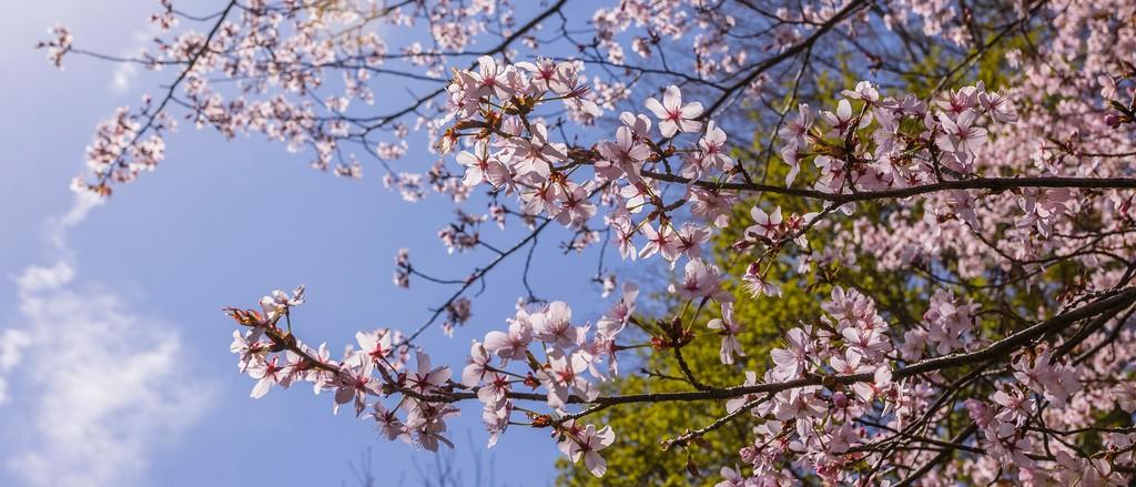 樱花,盛开的季节_图1-6