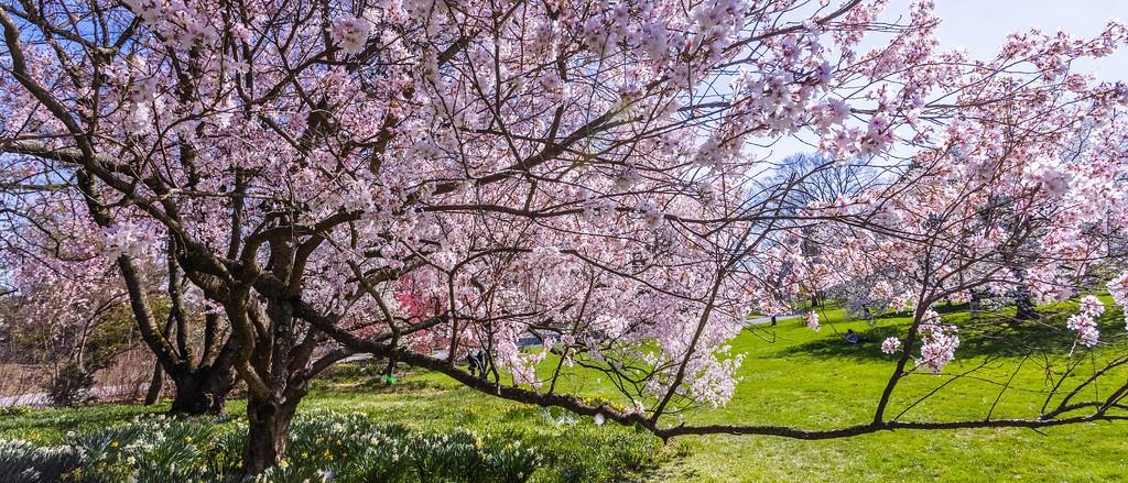 樱花,盛开的季节_图1-5