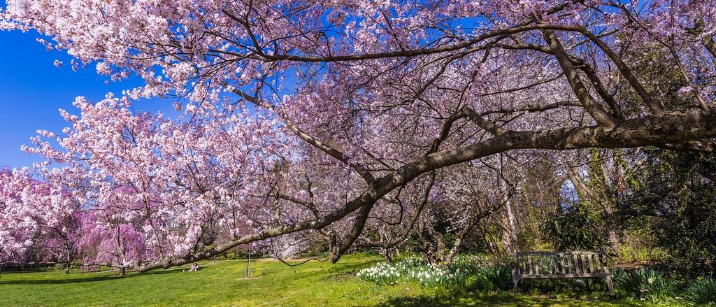 樱花,盛开的季节_图1-9