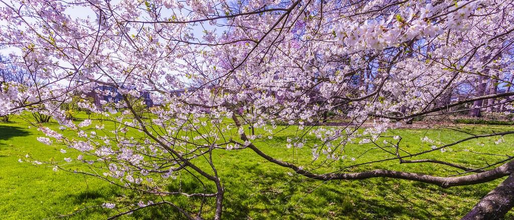樱花,盛开的季节_图1-11