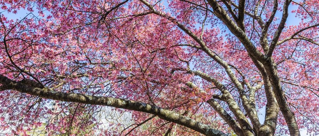 樱花,盛开的季节_图1-12