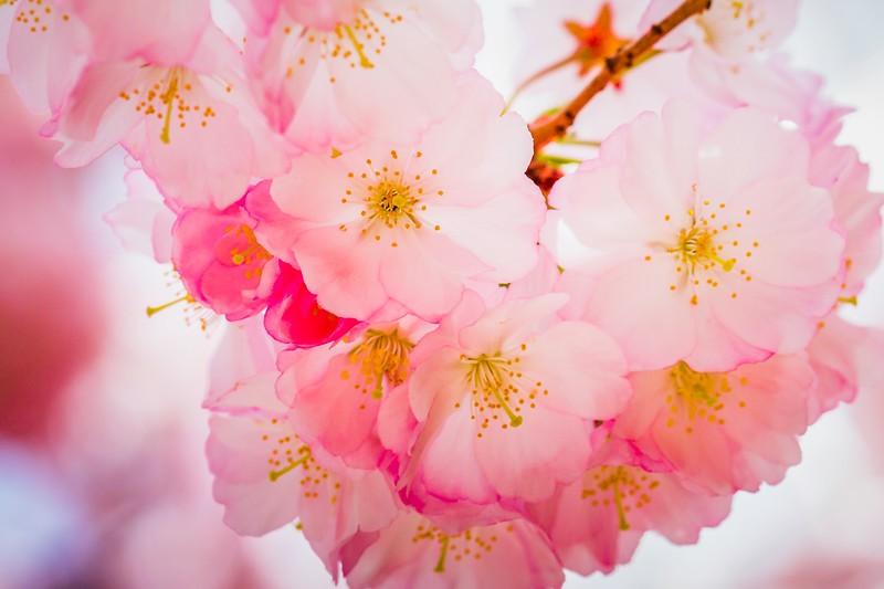 樱花,心灵的净化_图1-5