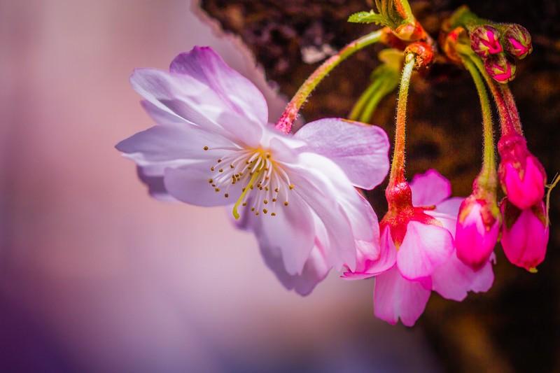 樱花,心灵的净化_图1-6