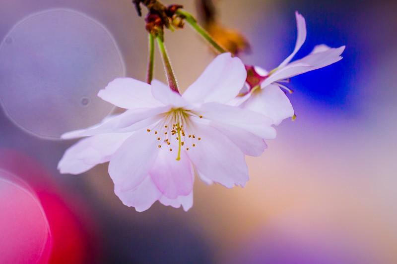 樱花,心灵的净化_图1-1