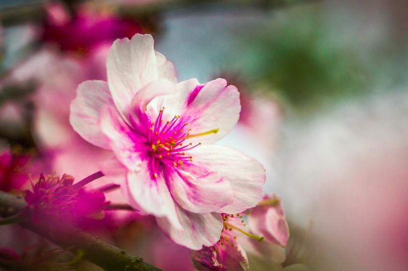 樱花,心灵的净化_图1-2