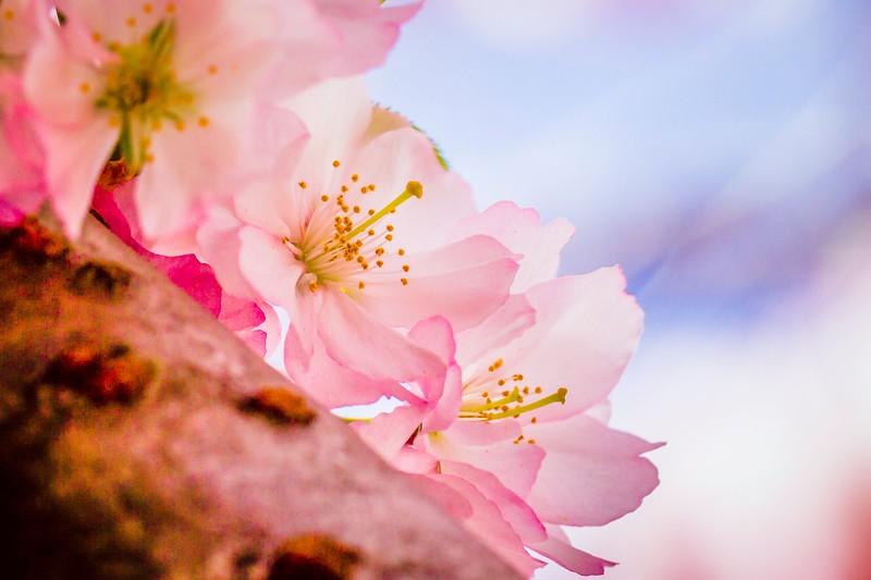 樱花,心灵的净化_图1-8