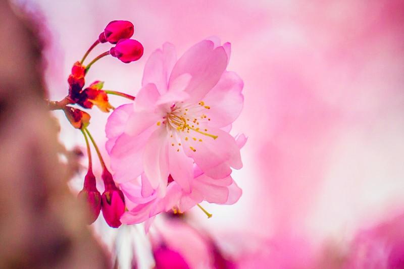樱花,心灵的净化_图1-7